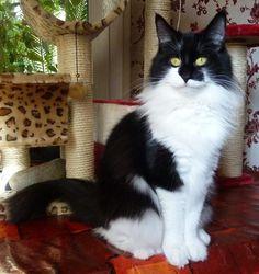 chat norvegien noir et blanc - chatterie El Condor Pacha