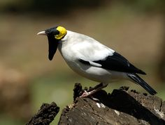Wattled Starling, Creatophora cinerea, is a nomadic resident in eastern and southern Africa.
