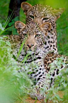 Playful leopard youngster Xiviti relaxing and grooming his sister Tingana at Timbavati Game Reserve, South Africa.  by Christof Schoeman Wildlife Photography https://www.facebook.com/christofschoemanwildlifephotography