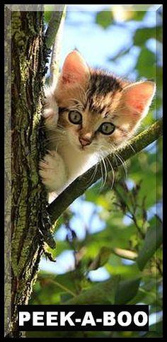 PEEK A BOO ;-)))) #cat cats kitty kitten animal pet nature cute funny tree