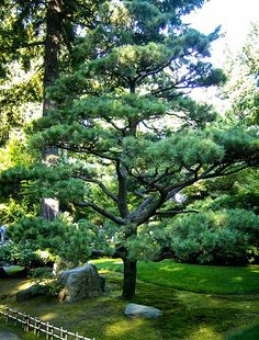 Backyard Garden With Boulders And Japanese Black Pine Tree Evergreen Garden, Garden Trees, Garden Plants, Pine Garden, Austrian Pine, Black Pine Tree, Cloud Pruning, Japanese Tree, Baumgarten