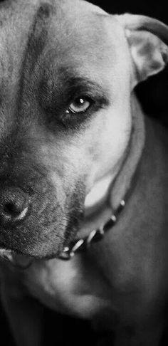Beautiful and Loyal Pit Bull