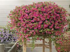 1000 images about plantes d 39 interior i exterior on - Plantas de exterior resistentes al frio y al calor fotos ...