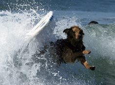 Credit: Michael Nelson/EPA A dog bow-wows out with pride after getting caught in a wave