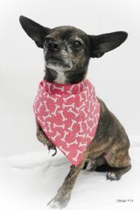 Otis - Chihuahua