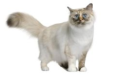 """The Birman, also called the """"Sacred Cat of Burma"""", is a domestic cat breed. No clear record of the breed's origin exists. They are most often claimed to have originated as the companions of temple priests in northern Burma in the Mount of Lugh. Domestic Cat Breeds, Birman Cat, Dog Portraits, Cat Love, Southeast Asia, Cats And Kittens, Adoption, Kitty, Dogs"""