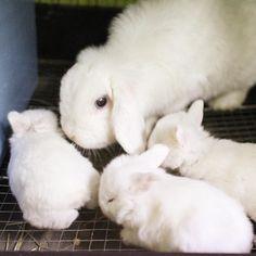 * よちよち🐣🐣🐣可愛いお顔はまた公開させて頂きます♪ by.アルバイト  #ブルーアイ #bunny #rabbit  #animal  #pets #bunnystagram #instapets #rabbitstagram #instarabbit  #動物 #うさぎ #たれ耳#ホーランドロップイヤー #ラビットインパクト #rabbitimpact