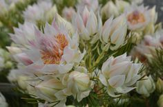 Serruria florida - Blushing Bride This variety received its common name through the custom of young men in South Africa's Cape wearing the flowers in buttonholes when courting.