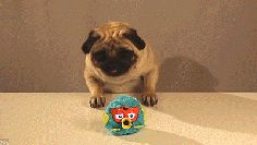 GIVE IT TO HIM GIVE THAT PUG EVERYTHING IT WANTS NOW!