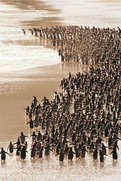 Gentoo penguins heading to sea, Pygoscelis papua, Islas Malvinas. Argentina.