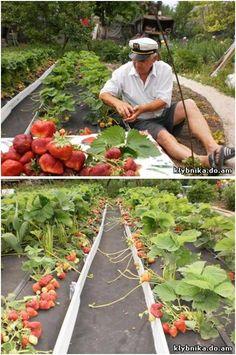 Тонна земляники с 1 сотки земли. | Выращивание земляники | Постила
