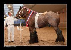draft horse breeds   Belgian Draft horse breed information