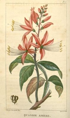 Flore pittoresque et médicale des Antilles, - Biodiversity Heritage Library Vintage Flower Prints, Vintage Botanical Prints, Botanical Drawings, Vintage Flowers, Botanical Flowers, Botanical Art, Botanical Gardens, Antique Illustration, Plant Illustration