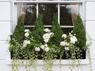 Elegant boxwood pyramids, trailing ivy and white geraniums fill black metal window boxes on the front of a period house.