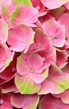 Stock photo of Vibrant pink hydrangea flower by Marcel Amazing Flowers, Colorful Flowers, Pink Flowers, Beautiful Flowers, Hydrangea Flower, Hydrangeas, Gras, Flowers Nature, Flower Wallpaper