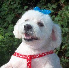 Adopt Conner Adoption Pending On Dog Adoption Bichon Frise Bichon