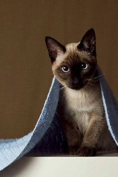Siamese cats pictures) - Siamese Kittens - Ideas of Siamese Kittens - Very interesting post: Siamese cats pictures).сom lot of interesting things on Funny Cat. The post Siamese cats pictures) appeared first on Cat Gig. Cute Kittens, Siamese Kittens, Cats And Kittens, Kitty Cats, Bengal Cats, Bengal Tiger, Beautiful Cats, Animals Beautiful, Funny Cats
