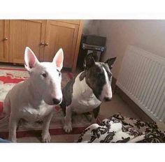 Double trouble! #Bull #Terriers