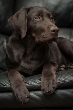 Mind Blowing Facts About Labrador Retrievers And Ideas. Amazing Facts About Labrador Retrievers And Ideas. Labrador Retrievers, Golden Retriever, Retriever Puppies, Perro Labrador Chocolate, Chocolate Lab Puppies, Chocolate Labs, Chocolate Labradors, Cute Puppies, Cute Dogs