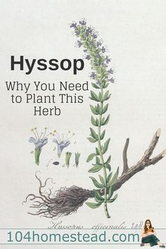 awesome Hyssop (Hyssopus officinalis)