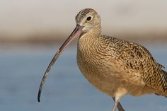 Long-billed Curlew2