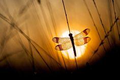 Photo Banded Darter at sunrise by Erik Veldkamp on 500px