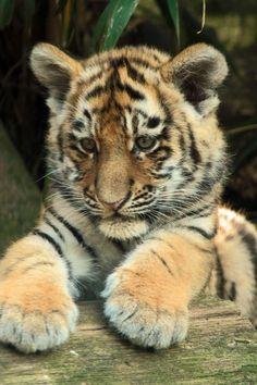 Siberian tiger aka the Amur tiger by joke kok