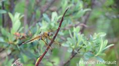 Nature, Plants, Summer, Photography, Dragonflies, Insects, Summer Time, Flora, Plant