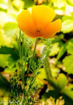 California poppy at Arboretum at Flagstaff, AZ