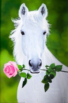White Horse (Holding Pink Rose) Art Poster Print Posters - by AllPosters. All The Pretty Horses, Beautiful Horses, Animals Beautiful, Majestic Horse, Cute Horses, Horse Love, Baby Animals, Cute Animals, Nature Animals