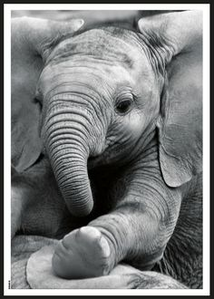 Cute Baby Elephant, Elephant Art, African Elephant, Cute Baby Animals, Animals And Pets, Funny Animals, All About Elephants, Elephants Never Forget, Elephant Pictures