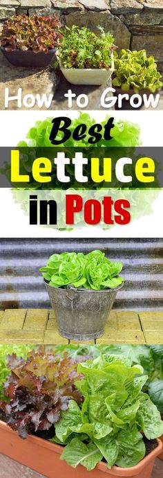 Growing lettuce in containers is fun and easy and you can harvest fresh, crispy, and organic lettuce leaves for your salads in no time.