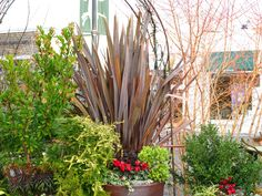 We get lots of requests and questions about the huge plants with the bird-of-paradise blooms in front of the winery. These are Phormium or New Zealand Flax. We are so pleased this year to provide several choices in our nursery including: Apricot Queen Jester, Rosie Chameleon, Shiraz, Sundowner, and Wings of Gold. All are evergreen with unique variegated foliage, drought tolerant and deer resistant. Plus, they seem to enjoy our weather. Open daily 11-7.