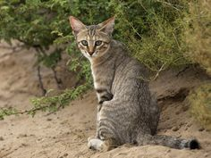 The housecat evolved from the Near Eastern wildcat (pictured).  The genes that turned wildcats into kitty cats
