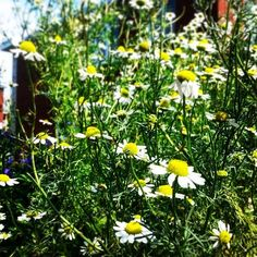 We love growing our own herbal teas . They are mostly small plants  which are a perfect match for our vertical growing systems!  Camomile tea  is great for relaxing on those cold winter nights #verticalfarming #urbanfarming #organicfarming #food #agricult