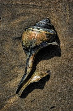 Sea Shell by Dan Ledbetter Shells And Sand, Sea Shells, Ocean Beach, Ocean Pics, Nautilus, Marine Life, Sea Creatures, Under The Sea, Starfish