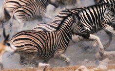 Zebras at Okaukuejo, Etosha, Namibia.