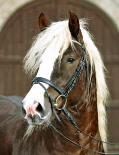 > Stallions > cold blood > Ramstein Ramstein Black Forest Horse V: Auditor MV: Moritz * 2011 chestnut Stm. Horse Photos, Horse Pictures, Most Beautiful Animals, Beautiful Horses, Different Horse Breeds, Rare Horse Breeds, Majestic Horse, All The Pretty Horses, Draft Horses