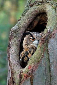 Eurasian Eagle Owl #owls #birds #wildlife