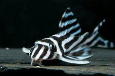 L046 Hypancistrus zebra: Zebra pleco