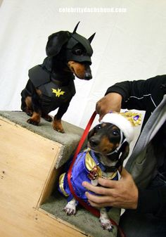 Dachshund Halloween Costumes & Contest Results | Crusoe Dachshund FRANKIE