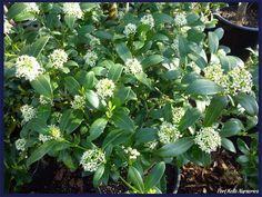 Skimmia japonica Kew White : arbuste persistant à petites fleurs très parfumées.