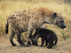 La hiena tiene una vista tan desarrollada que es capaz de correr a 40 km/h por la noche. Aunque parece una mezcla entre un perro y una mini jirafa, pertenece al género de los felinos. Emite un ruido muy parecido a la risa humana. Suele hacerlo al encontrar comida o en la época de celo.  Es un animal cobarde, se pasa todo el día durmiendo; por la noche sale a cazar o robar las presas. También se alimenta de carroña. Posee una mandíbula tan fuerte que es capaz de triturar los huesos de sus…