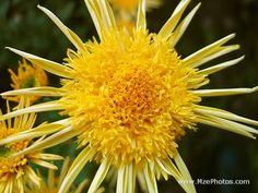 Dark Yellow Chrysanthemum