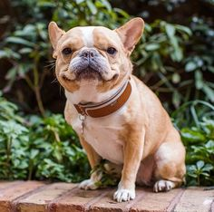 Are you looking to become a first-time pet owner? These top 10 calmest dog breeds are easy to train and perfect for families with kids. French Bulldog Breed, Bulldog Breeds, Bulldog Puppies, French Bulldogs, Calm Dog Breeds, Best Dog Breeds, Best Dogs, Dog Activities, Smiling Dogs