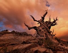 The Ancient Bristlecone Pine Forest is open from mid-May through the end of November. For photographers as well as nature enthusiasts, this is a must-visit destination. Here are some of our favorite photos of the stunning bristlecone pine trees. Forest Photography, Stunning Photography, Landscape Photography, Photos Du, Cool Photos, Sky Photos, Amazing Photos, Bristlecone Pine, Picture Tree