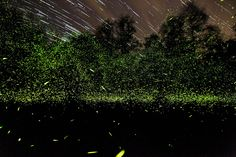 Synchronous fireflies. Part 2 of the 2013 National Geographic Traveler Photo Contest - In Focus - The Atlantic