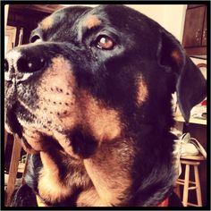 This rott has the same look in its eyes that mine used to get. almost as if it's pondering something of great significance.