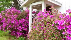 Azaleas in bloom at Cedar Grove Windy Hill Farm, Cedar Grove, NC.