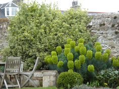 Euphorbia characias subsp. wulfenii, buxus and Euonymous in a garden by Goose Green Design